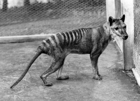 Moriarty's Monsters Part 8: Thylacine